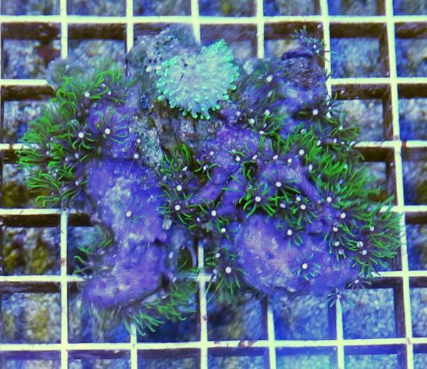 Briareum hamrum Neon Grüne Röhrenkoralle Rhodaktis grün