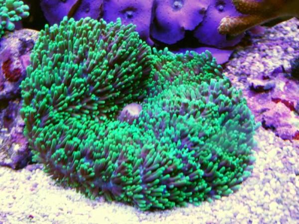 Rhodactis grün (Beispielfoto)