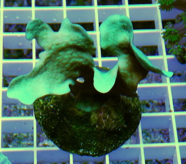 Pavona Cactus (Beispielfoto)
