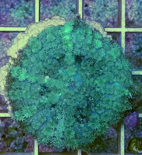 Rhodactis Scheibenanemone grün (Beispielfoto)