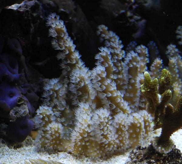 Lobophytum Fingerlederkoralle mit weissen Polypen (Beispielfoto)