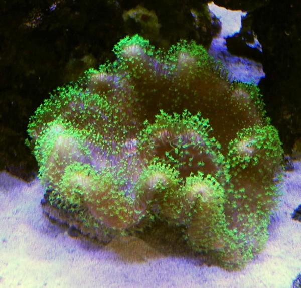 Sarcophyton Aussi. Green Polyp