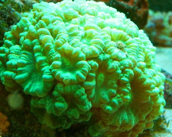 Caulastrea furcata neon grün - Flötenkoralle (Beispielbild)