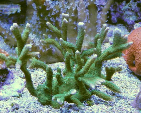 Montipora digitata grün (Beispielfoto)