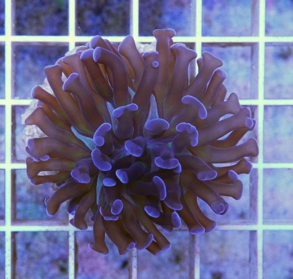 Euphyllia BLUE/SILVER (Beispielbild)