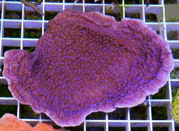 Montipora blue Star (Beispielfoto)
