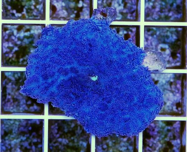 Rhodactis Ocean blue (Beispielfoto)