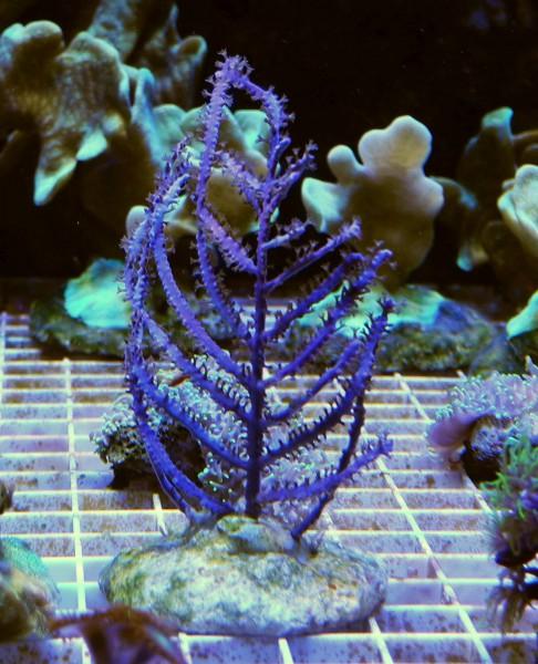 Blaue Meerfeder Antillogorgia bipinnata